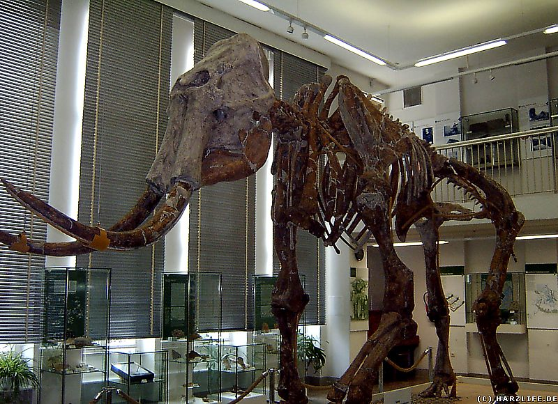 Das Skelett des Altmammuts im Spengler-Museum in Sangerhausen