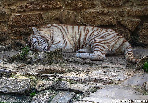 Tiger im Zoo von Aschersleben