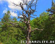 Alter sterbender Baum